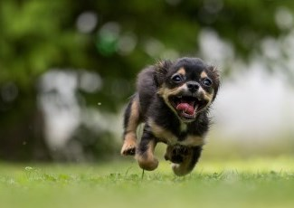 Photo of a dog running.